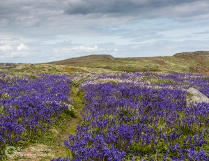 Bluebells on the Saltee Islands
